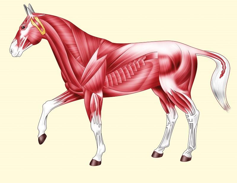 Hoe zorg ik ervoor dat mijn paard goed in zijn bespiering zit?